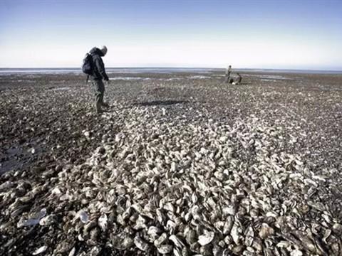 吃货不淡定 丹麦生蚝泛滥成灾官方求助
